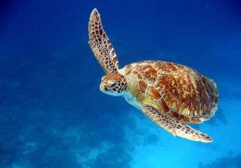 koh-tao-turtle